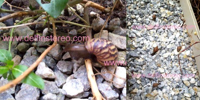 Proliferación de caracoles en los jardines de la alcaldía prende las alarmas